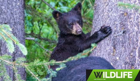 Bear Cubs Zipping Up and Down Trees then Nursing in Canada's Rockies HD 2018