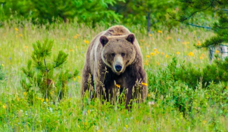 Grizzly Bear Approaches near trailhead in Canadian Rockies Widlife Video