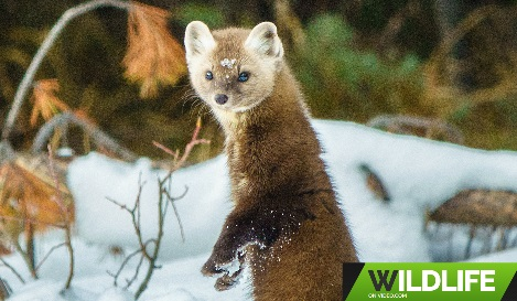 Pine Marten Hunting in the Canadian Rockies Widlife Video