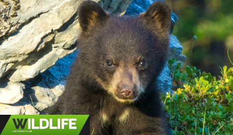 Bear Cubs Play Fighting Becomes Aggressive in Canada's Rockies 2018 HD