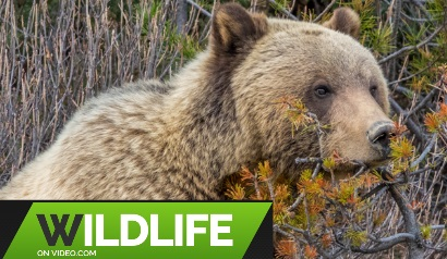 Grizzly Bear Jasper National Park Alberta Just Out of Hibernation 2018 HD Video